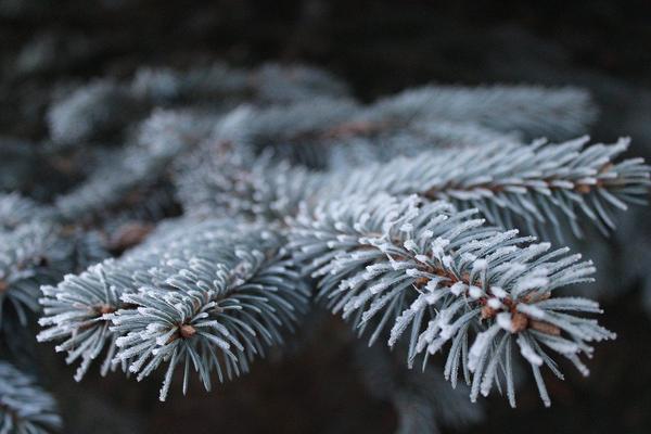 Jak najlepiej ciąć drzewa iglaste?